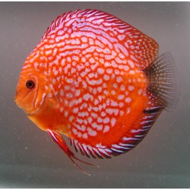 Discus Pigeon blood rouges 12-13 cm Le lot de 2