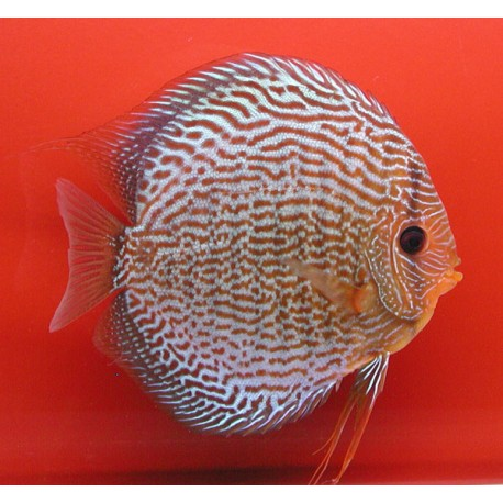 Discus Snake Skin rouges 8-9cm le lot de 2