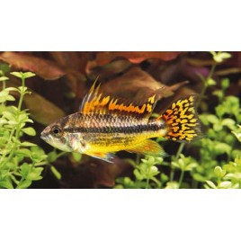 Apistogramma Cacatuoides Double Red M 3-4 Cm