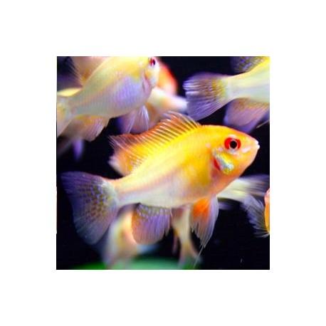 Apistogramma-Microgeophagus Ramirezi Gold le couple