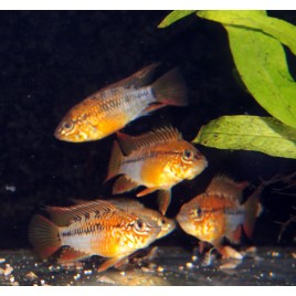 Apistogramma Viejeta Super red le couple