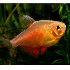 Hyphessobrycon Flammeus orange lot de 10