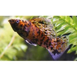 Molly Velifera Bronze Marbres en couple 5-6cm