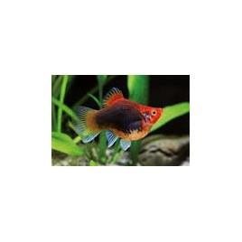 Platy corail Tuxedo rouges 2-3cm