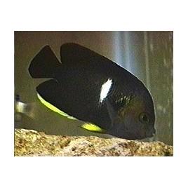 Centropyge Tibicen : 5 à 7 cm