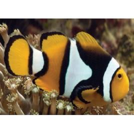 Amphiprion Percula : 4 à 5 cm  Elevage