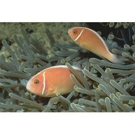 Amphiprion Perideraion : 5 à 7 cm