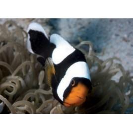 Amphiprion Polymnus : 3 à 4 cm  Elevage
