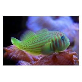 Gobiodon histrio/rivulatus : 2 à 3 cm
