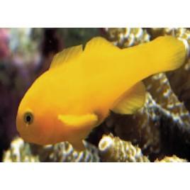 Gobiodon okinawae : 1,5 à 2 cm