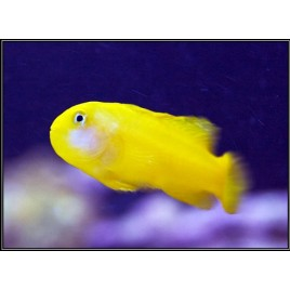 Gobiodon okinawae : 2 à 3 cm