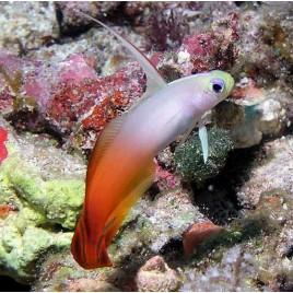 Nemateleotris magnifica : 5-7 cm  Maldives