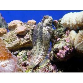 Salarias fasciatus : 4 à 7 cm