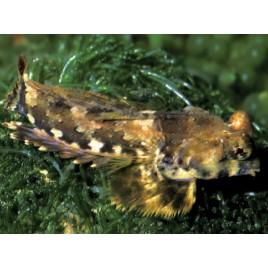 Synchiropus ocellatus* : 3 à 4 cm