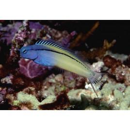 meiacanthus nigrolineatus
