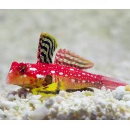Synchiropus sycorax 2.5 à 4 cm