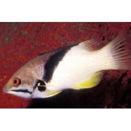 Bodianus mesothorax : 8 à 12 cm
