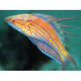Paracheilinus filamentosus mâle : 3 à 4 cm