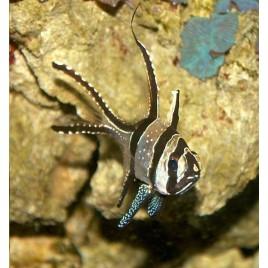 Pterapogon kaudernii  lot de 2