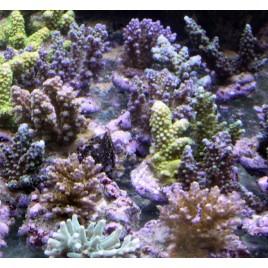 Acropora colorés assortis taille S lot de 5