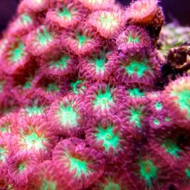 Blastomussa merleti coloré Autralie