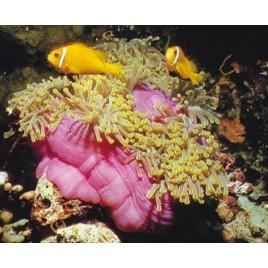 Heteractis magnifica-Anémone à longues tentacules !