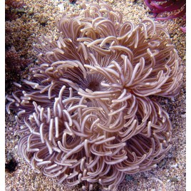 Macrodactyla doreensis-anémone beige à pied rouge 10-15 cm