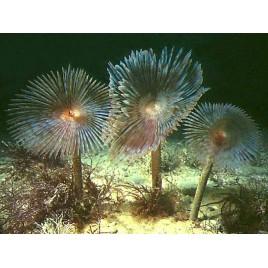 Sabellastarte sp-spirographe assortis lot de 5