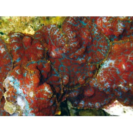 Rhodactis inchoata-champignons oreilles rouges