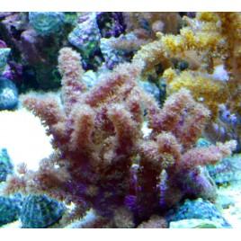Nephthea sp.-corail brocoli 10-12 CM