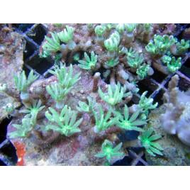 Clavularia sp.-Clove Verts