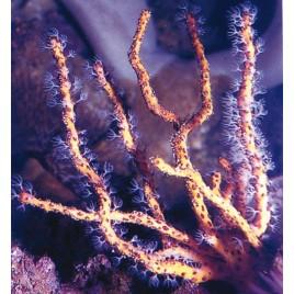 Diodogorgia Nodulifera-gorgone doigt jaune non symbiotique