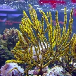 Menella sp.-gorgone mauve ou rouge