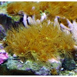 Parazoanthus sp.-Polyps jaunes