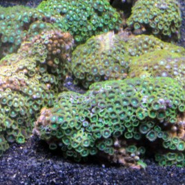 Zoanthus sociatus vert Select